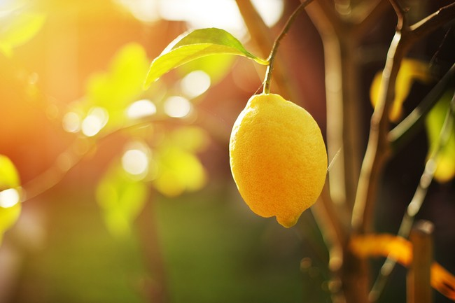 Ripe lemon hangs on tree branch in sunshine.