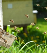 Plenty of bees at the entrance of beehive in apiary in the sprin