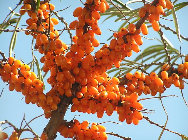55-sea-buckthorn