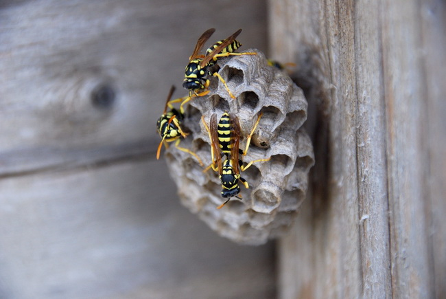 Natural Remedy For Wasps Nest