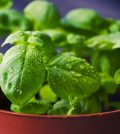 Holy Basil For Anxiety Relief And Other Health Benefits Video