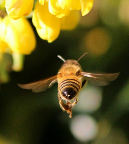 How Do You Treat A Bee Sting Naturally? Video
